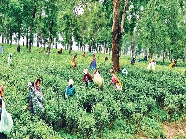 किशनगंज में चाय बागान में पत्तियां तोड़तीं महिला श्रमिक। - Money Bhaskar