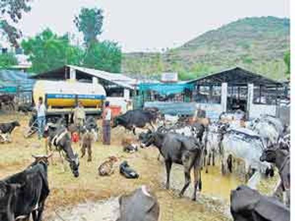 पोलिसांनी पकडलेली २१२ जनावरे जीवदया संस्थेमध्ये दाखल करण्यात आली आहेत. छाया : विवेक भिडे - Divya Marathi