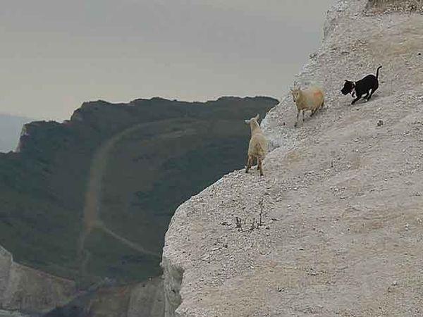 मेंढ्यांचा पाठलाग करताना श्वान. - Divya Marathi