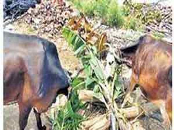 हतनूरचे  शेतकरी पाण्याअभावी वाया जाणारे केळीचे पीक जनावरांच्या तोंडी देत आहेत. - Divya Marathi
