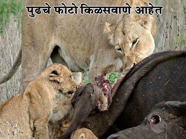 रेड्याची शिकार करताना सिंह - Divya Marathi