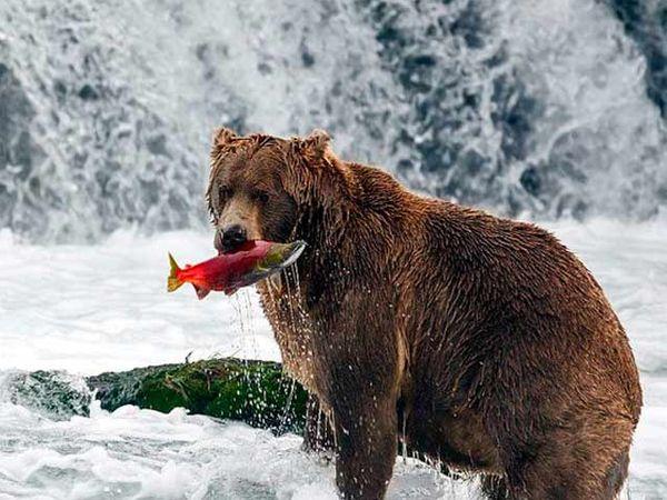 तोंडात मासा पकडलेला अस्वल - Divya Marathi