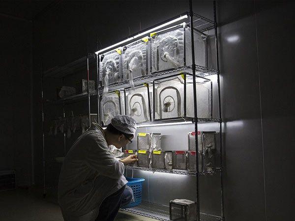 चीन धोकादायक आजारांशी लढण्यासाठी फॅक्टरीत लाखोच्या संख्येने डासांची पैदास करत आहे. - Divya Marathi