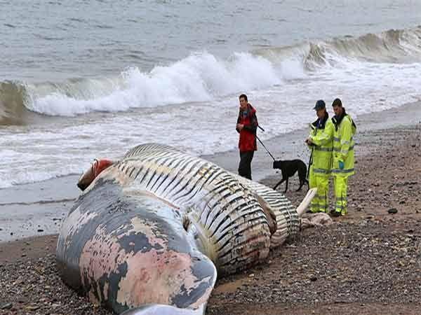 समुद्र किनारी भला मोठा म्हणजे तब्बल 50 फूट लांबीचा व्हेल मासा मृत अवस्थेत पडलेला. - Divya Marathi