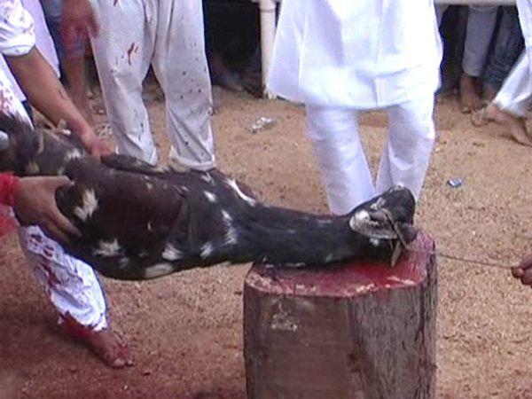 अशा प्रकारे लाकडाच्या ओंडक्यावर बकऱ्याचे डोके ठेवले जाते. त्यानंतर बळी दिला जातो. - Divya Marathi