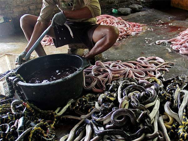 सापाच्या कातडीपासून बॅग बनवल्या जातात. या हॅंड बॅगची जगभरातील फॅशन जगतात चांगलीच मागणी आहे. - Divya Marathi