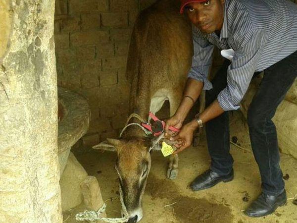 भाजप शासित झारखंडच्या 8 जिल्ह्यांमध्ये 12 हजार गायींना आधार प्रमाणेच यूनिक आयडी देण्यात आले आहेत. - Divya Marathi