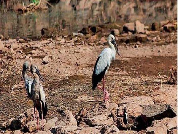 पक्षी निरीक्षणादरम्यान एशियन ओपनबील स्टॉर्क - Divya Marathi