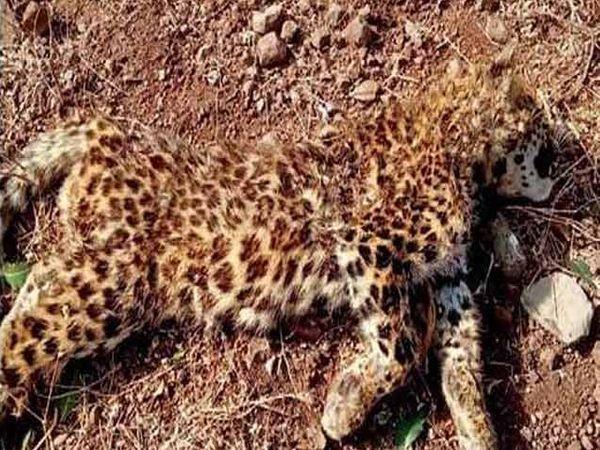 वाघूर धरण परिसरात बुधवारी आढळून आलेले मृत बिबट्याचे पिलू. - Divya Marathi