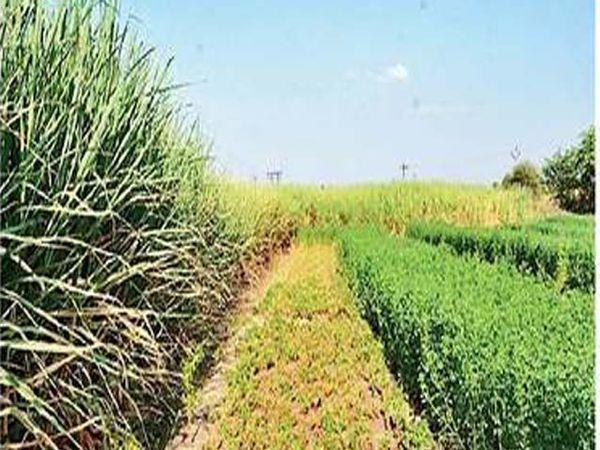 मोराची चिंचोली परिसरातील सर्व गावांत प्रत्येक शेतकऱ्याच्या शेतात असे चारा पीक घेतात. - Divya Marathi