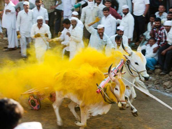 बैलगाडा शर्यती म्हणजे प्राण्यांवर क्रूरता - याचिकाकर्ते - Divya Marathi