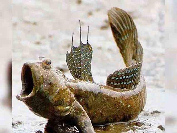 जमिनीवर फिरणारा मडस्किपर मासा. - Divya Marathi