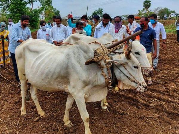 राजनापूर दत्तक घेतलेल्या गावात १२ मिनिटे कडू यांची पेरणी. - Divya Marathi