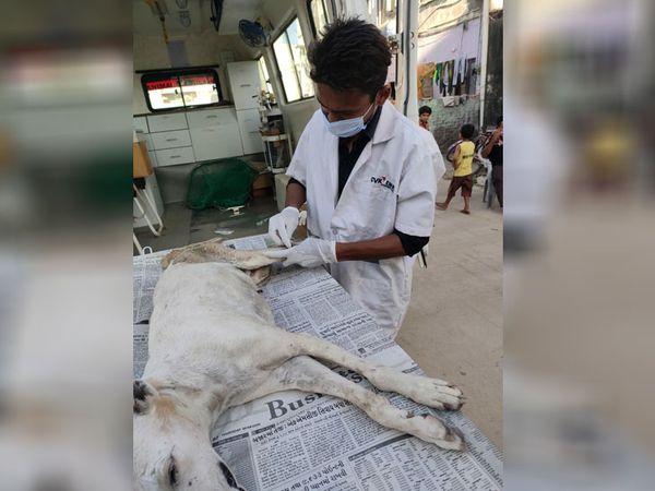 પશુની સારવાર કરતા તબિબ - Divya Bhaskar