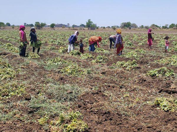 સુકારાના રોગથી બાકાત રહેલો પાક ઉપાડવાની કામગીરી શરૂ કરાઇ - Divya Bhaskar