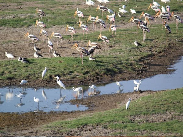 વઢવાણા તળાવ સુકાઈ જતાં સ્થાનિક પક્ષીઓ દયનિય સ્થિતિ માં મુકાયા હાલ પણ ચાર જાતિના પક્ષીઓ છે જે તસ્વીરમાં જણાય છે. - Divya Bhaskar