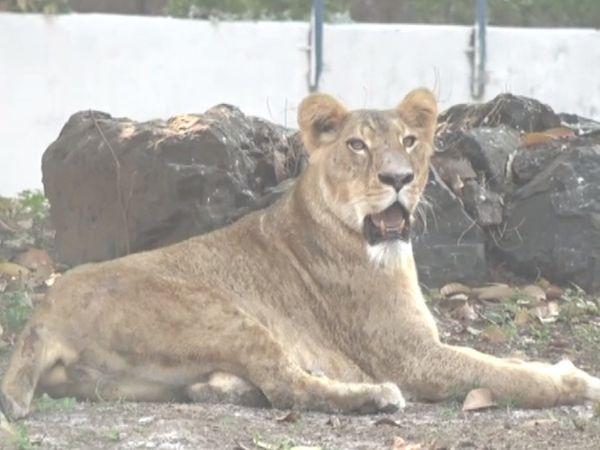 પાંચ વર્ષ બાદ પ્રવાસીઓ માટે સિંહના દર્શનનો લાભ પ્રાણી સંગ્રહાલયમાં મળી રહ્યો છે. - Divya Bhaskar