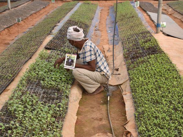 પાદેડી અડોરમાં ખેડુતે  હાઇટેક નર્સરી તૈયાર કરી શાકભાજીના રોપાનું વેચાણ કરે છે. - Divya Bhaskar