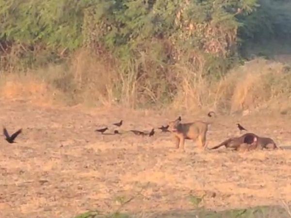 જંગલવિસ્તારમાં બે પશુઓના મારણ કરી વનરાજે મિજબાની માણી હતી. - Divya Bhaskar