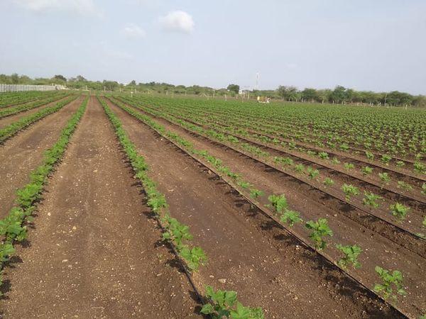 જિલ્લામાં 2 વર્ષમાં મોટાભાગના ખેડૂતો ટપક પધ્ધતી અપનાવી છે. - Divya Bhaskar