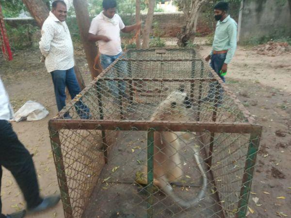 ખંભાતના કતકપુરમાં આતંક મચાવનાર કપિરાજ પાંજરો પુરાયો હતો. - Divya Bhaskar