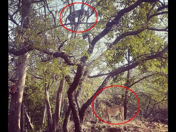 તસવીર: ગીરના જંગલમાં ઝાડ પર ઉભેલો દીપડો અને નીચે ઉભેલો સિંહ નજરે પડે છે. - Divya Bhaskar