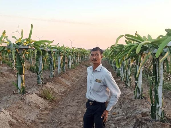 આ ફળની આશરે 25 વર્ષ સુધી ખેતી કરી શકાય છે - Divya Bhaskar