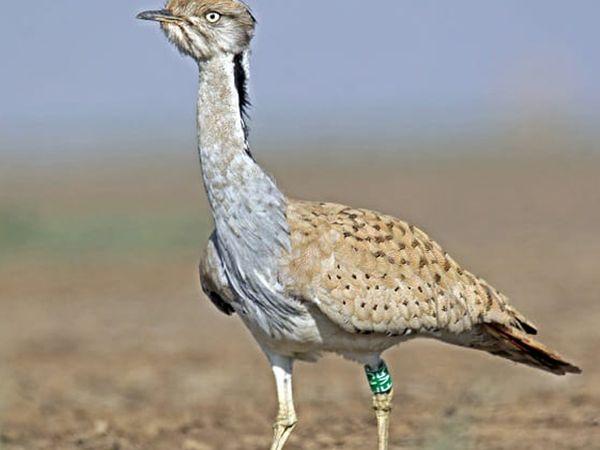 તસવીર: દુર્લભટિલ્લોર પક્ષી. - Divya Bhaskar