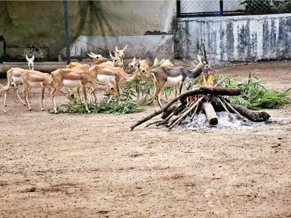 સુરતના પ્રાણી સંગ્રહાલયમાં પ્રાણીઓને પણ ઠંડીથી સુરક્ષિત રાખવાના ઉપાયો અજમાવાયા હતા. અહીં હરણોને પણ ગરમાવો આપવા તાપણું કરવામાં આવ્યું હતું. - Divya Bhaskar