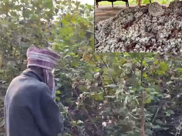 ખેડૂતોને કપાસના પોષણક્ષમ ભાવ ન મળતાં સીસીઆઈની ખરીદી માટે મુખ્યમંત્રી સમક્ષ માંગ કરાઈ છે. - Divya Bhaskar