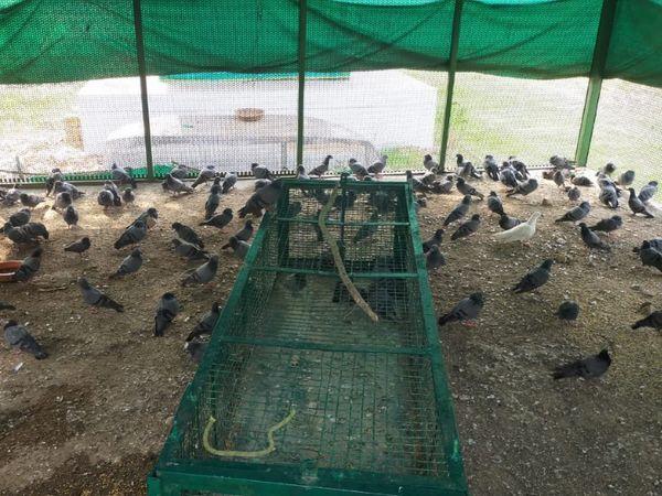 પક્ષીઓને સયાજીબાગમાં આવેલા રેસ્ક્યૂ સેન્ટર ખાતે ઇન્ડોર પેશન્ટની જેમ રાખવામાં આવ્યા