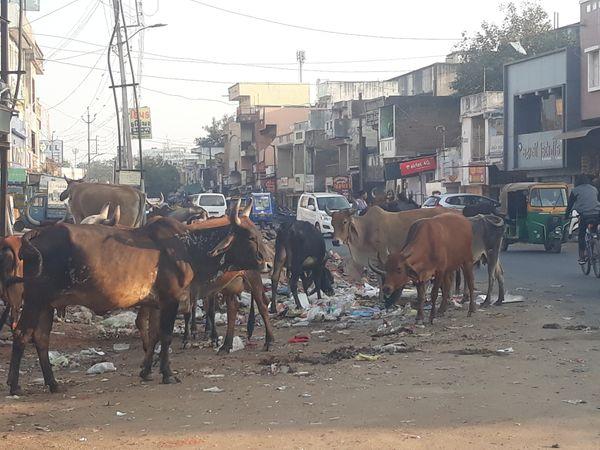 નડિયાદ પાલિકાના વોર્ડ નં.2માં રખડતી ગાયોને કારણે રહિશોને પારાવાર હાલકી ભોગવવી પડી રહી છે. - Divya Bhaskar