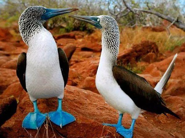 પ્રાણી જ નહીં પક્ષી પણ કુદરતે ગજબના બનાવ્યા છે. આ એકદમ સુંદર લાગતું પક્ષી છે બ્લુ ફૂટેડ બૂબી છે. આ પક્ષી સમુદ્રમાંથી જીવોને પકડીને પોતાનું જીવન ગુજારે છે.