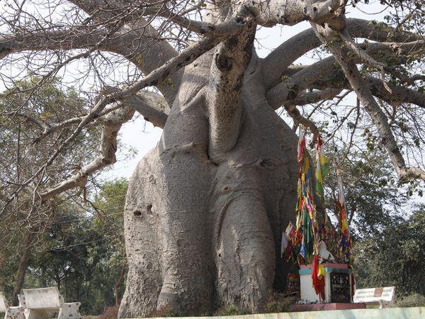 ડોદરા પાસે ભાયલી અને પાદરાથી 6 કિમીના અંતરે આવેલા ગણપતપુરા ગામે ગુજરાતનું સંભવત: સૌથી મોટું આફ્રિકન બાઓબાબનું 950 વર્ષ જૂનું વૃક્ષ છે.  200 ફૂટ મૂળિયાં અને 80 ફૂટનો ઘેરાવો ધરાવતા વૃક્ષના થડમાં 50 હજાર લિટર પાણીનો સંગ્રહ થાય છે. - Divya Bhaskar