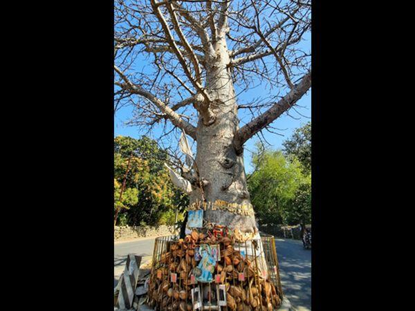 ગિરનાર રોડ પર આ વૃક્ષ આવેલું છે. પ્રાચિન વૃક્ષ છે. આ રૂખડાના વૃક્ષની ઉંચાઇ 50 ફૂટ છે. સફેદ રંગના ફૂલો ખીલે છે. તેની ડાળીઓ મૂળ જેવી દેખાતી હોવાથી બોટલ ટ્રી તરીકે ઓળખાય છે. - Divya Bhaskar