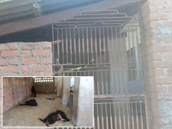 6 ફૂટ ઉંચી દીવાલ કૂદીને દીપડા વાડામાં ઘુસી 9 બકરાઓનું મારણ કરીને મોતને ઘાટ ઉતાર્યા હતા. - Divya Bhaskar