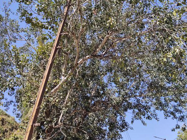ખુલ્લા જીવંત વાયરો ઝાડમાંથી પસાર થતા નજરે પડે છે - Divya Bhaskar