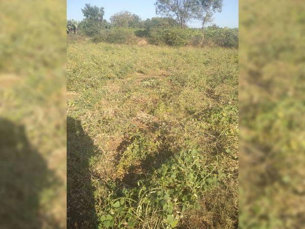 ખેતરમાં ભૂંડો દ્વારા ભેલાણ કરતા ખેડૂતો પરેશાન બન્યા છે. - Divya Bhaskar