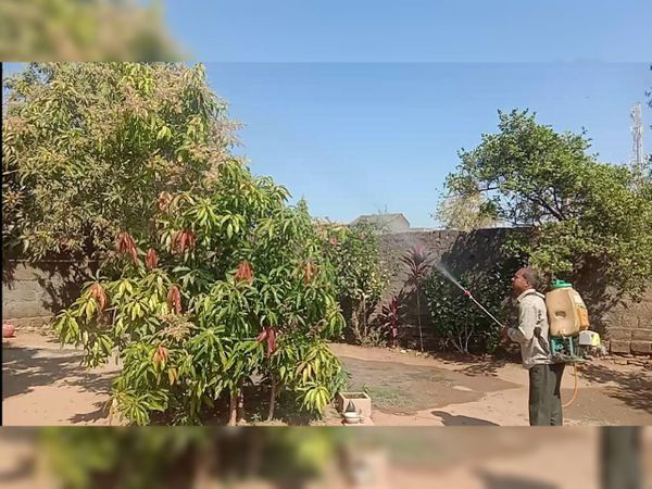 કૃષિ નિષ્ણાંતો આ તકે સફેદ ફુગનો સામનો કરવા કુદરતી ઉપાયો પર ભાર મુકે છે - Divya Bhaskar