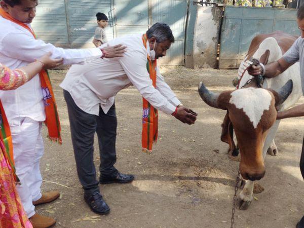 જીત માટે ગાયના શરણે - મનપાની ચૂંટણીના પ્રચાર બન્ને મુખ્ય પક્ષોએ શરૂ કરી દીધા છે. એક વોર્ડમાં તો ઉમેદવારોએ ગાયનું પૂજન કરી પ્રચાર શરૂ કર્યો હતો. - Divya Bhaskar