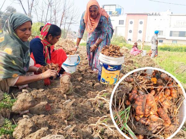 પ્રિયંકા અને તેમના પિતાએ લીઝ પર જે જમીન લીધી છે એમાં તેઓ મલ્ટી ક્રોપિંગ જૈવિક ખેતી કરે છે. તસવીરમાં દેખાઈ રહેલી મહિલાઓ તેમના ખેતરમાંથી કાચી હળદર ભેગી કરી રહી છે(તસવીરઃ પુનીત ગર્ગ) - Divya Bhaskar