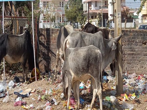 મહાવીરનગર પાસે કચરાના ઢગમાં રખડતી ગાયોનો જમેલો. - Divya Bhaskar