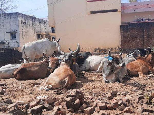 અલકાપુરી વિસ્તારમાં રખડતા ઢોરનો બહુ ત્રાસ છે ગાયો - આખલાના ઝૂંડના ઝૂંડ ફરે છે બાળકો વૃદ્ધોને ઇજા થવાની દહેશત,ગંદકી પણ બહુ રહે છે. - Divya Bhaskar