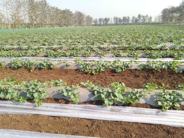 મલ્ચિંગના કારણે જમીનમાં ભેજ અને પોષક તત્ત્વો જરૂરિયાત પ્રમાણે જળવાઈ રહે છે.