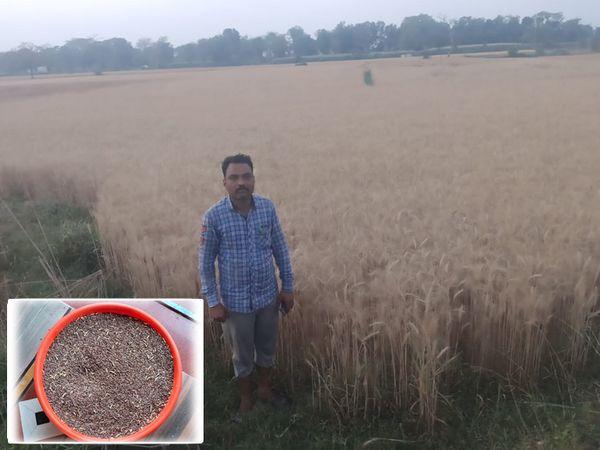 લુણાવાડા તાલુકાના ગધનપુર ગામના ખેડૂત કલ્પેશભાઈઅે કાળા ઘઉંની ખેતી કરી છે તે ખેતરનું દૃશ્ય જણાય છે. - Divya Bhaskar