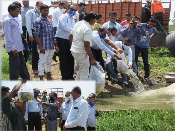 રજવાડ અને નાનીચેર ગામે નદીમાં છોડવામાં આવી રહેલા મત્સ્ય બીજ. - Divya Bhaskar