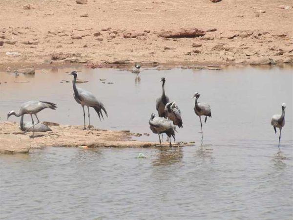 हर साल हजारों पक्षी हजारों किलोमीटर दूर से जोधपुर आते हैं।