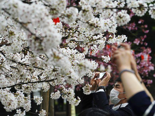 વસંત ઋતુ ઉર્મિઓ પાંગરવાની ઋતુ છે અને જાપાનની ચેરી બ્લોસમ એટલા માટે પ્રખ્યાત છે. - Divya Bhaskar