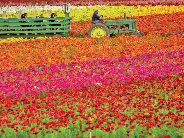 અમેરિકાના કેલિફોર્નિયામાં-55 એકરની કાલર્સબેડની ઘાટી સાત કરોડ ફૂલોથી ખીલી ઊઠી છે, અહીં રેનનકુલસની વિવિધ જાતિનાં ફૂલો ખીલ્યાં છે.