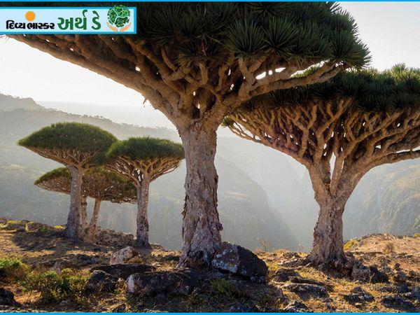 ये एक जुरासिक डायनासोर के फिल्मी दृश्य नहीं हैं, बल्कि पृथ्वी पर स्थित सुकुत द्वीप के पेड़ हैं।  जो यमन में अरब सागर में स्थित हैं।  यह नाम पेड़ की आकृति को देखते हुए दिया गया है।  इसका उपयोग गर्भपात के लिए किया जाता है।  रोमन और यूनानियों ने वैग्या के समय इसे एक दवा के रूप में इस्तेमाल किया था।